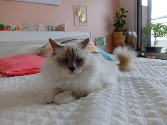 White cat with blue eyes on bed