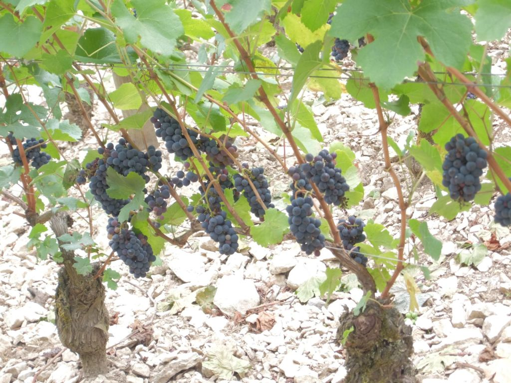 grapes hanging from the vines