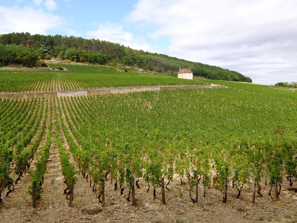 rows of grape vines in vineyard
